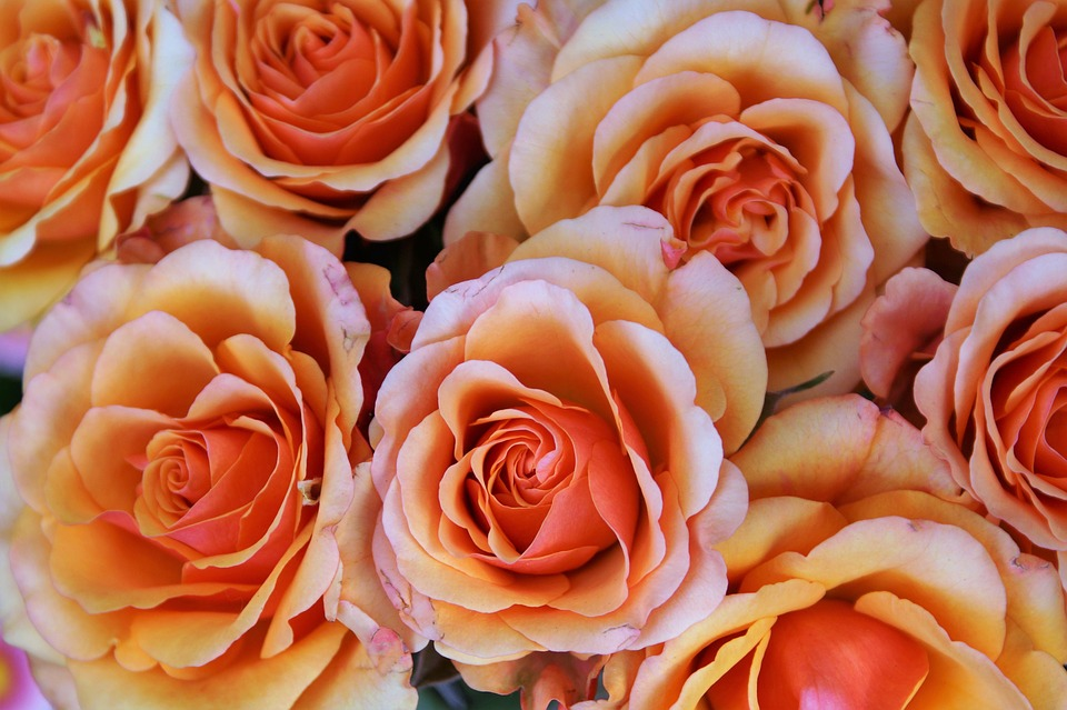 Orange Garden Rose free photo: flower, rose, blossom, bloom - free image on pixabay