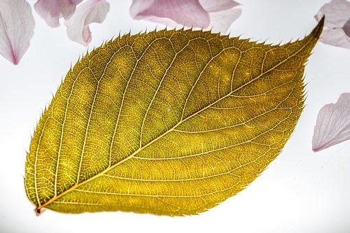 Leaf, Japanese Cherry, Falling Leaves
