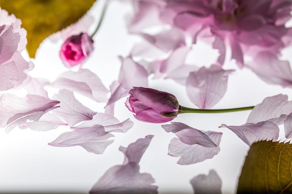 花びら, 落下, 桜の日本, 落ち葉, 花, 桜の花, 葉, ピンク, スプリング, 日本の桜の木, 木