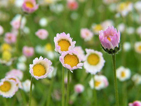 Daisy, Flowers, Rain, Garden
