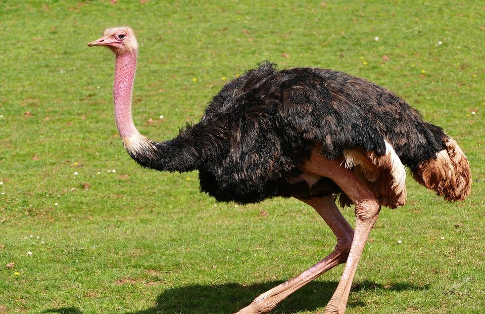 Bird Ostrich Nature · Free photo on Pixabay