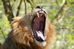 lion, teeth, wild