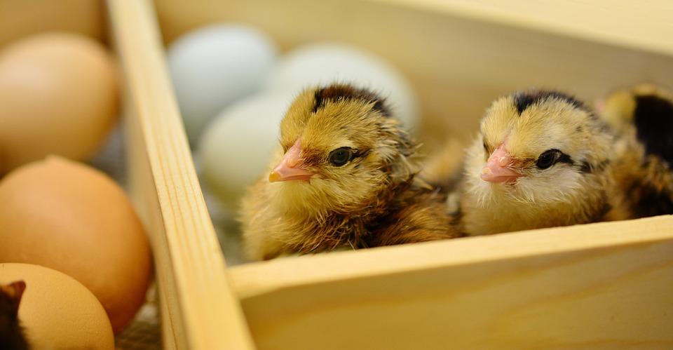 Pelung usaha kreatif yang belum ada di Indonesia, Chicks, Menetas, Binatang Muda, Bulu Halus, Lembut