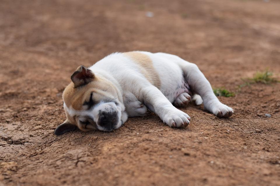 Animals Dog Sleep 183 Free Photo On Pixabay