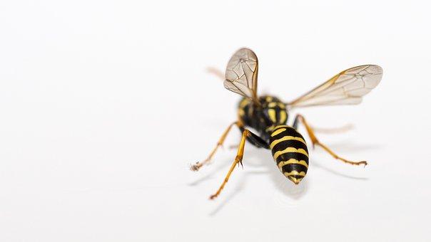 Wasp, Insect, Macro, Nature, Close