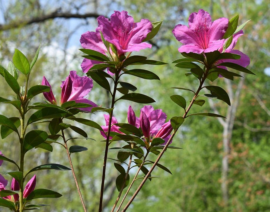 Hot Pink Azalea Flower Free Photo On Pixabay