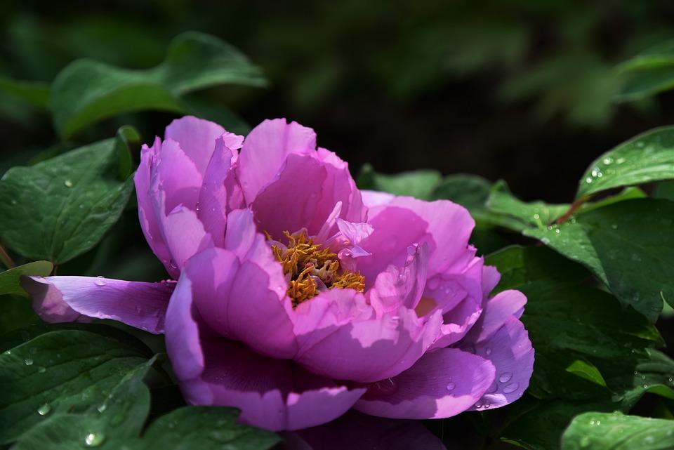 Pivoine Fleurs Printemps Fond Photo Gratuite Sur Pixabay
