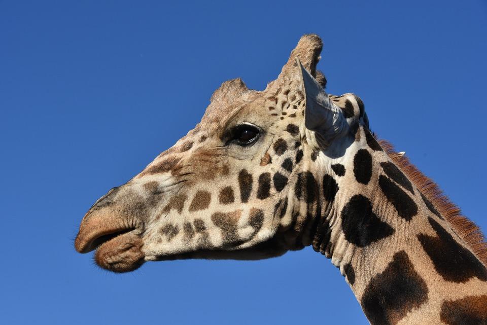 长颈鹿, 动物, 野生动物, 非洲, 脸, 头, 特写, 孤立, 外形