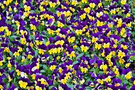 Photo gratuite violette jaune fleur orange image gratuite sur pixabay 1385939 - Image fleur violette gratuite ...