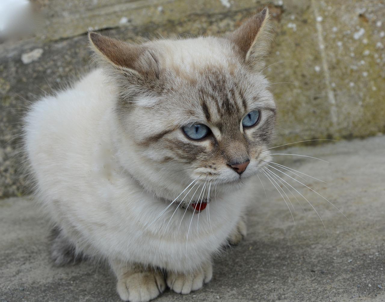 оптимальным порода голубоглазых кошек фото вполне понятным