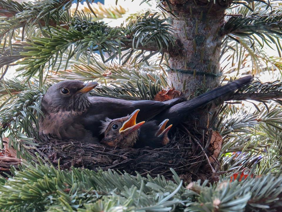 Vogel, Amsel, Nest, Vogelnest, Amselnest, Vogeljunges