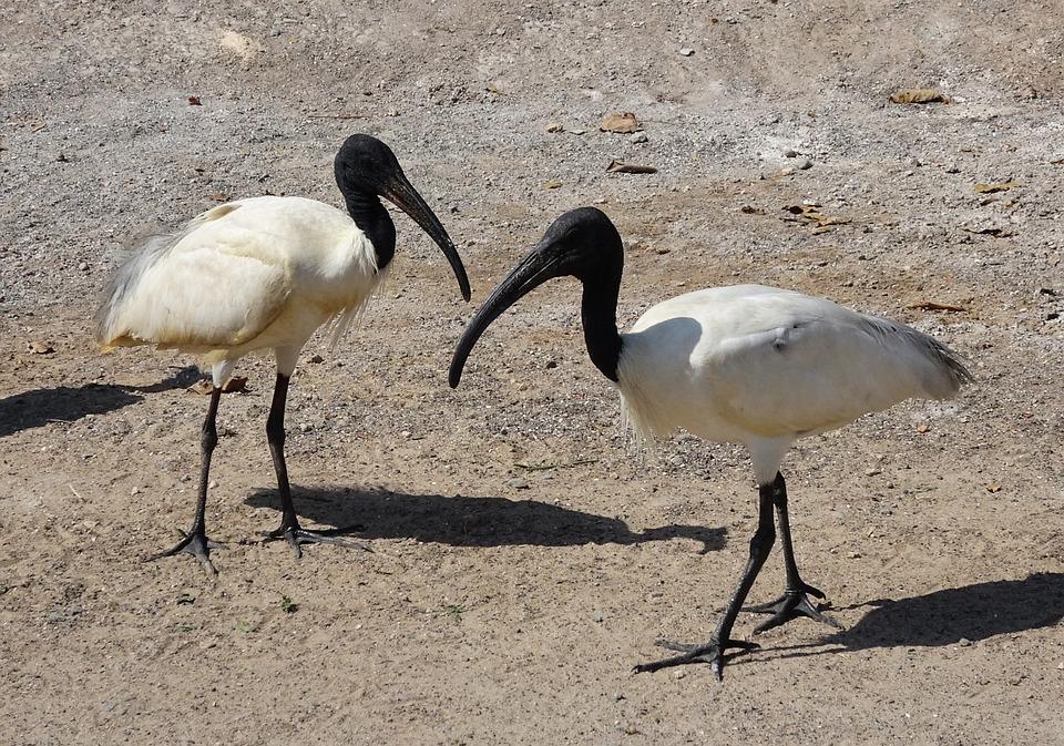 vogel ibis schwarzköpfiger - kostenloses foto auf pixabay