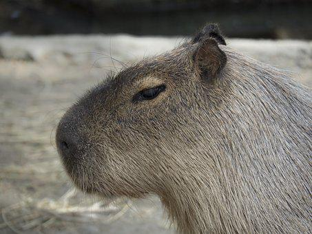 Capybara, Rodent Giant, Rodent, Giant
