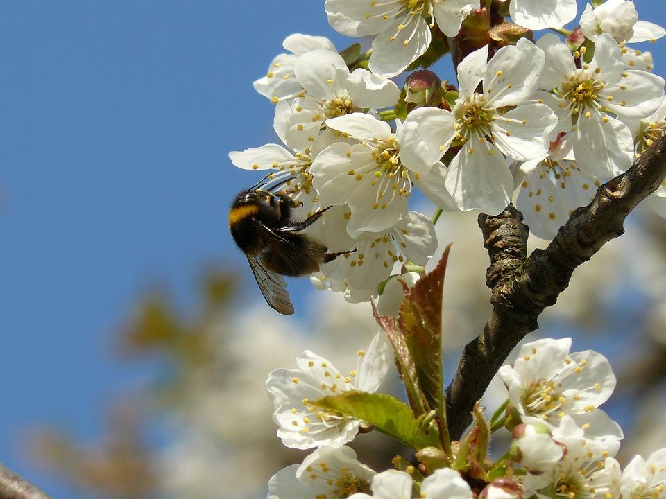 春天, 花, 白, 花粉, 昆虫, 樱桃, 熊蜂, 性质, 花园, 飞