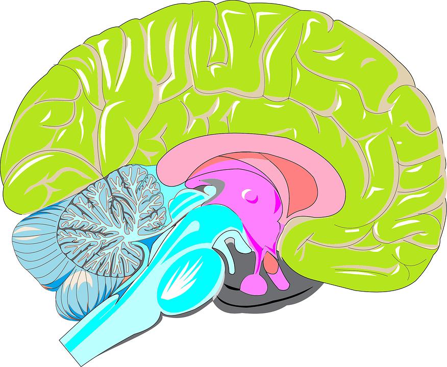 Cerebro, Triunique, Reptil, Límbico, Neocórtex