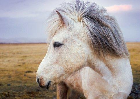 Kuda Poni Kuda Islandia Hewan Lucu