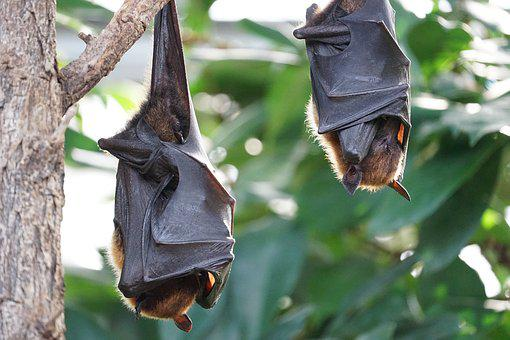 Flying Foxes Bat Tropical Bat Bat Bat Bat