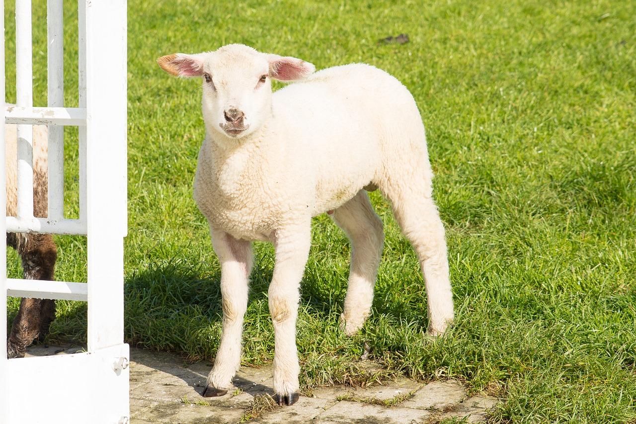 孕妇梦见一只白色的羊 孕妇梦见白羊是女孩吗