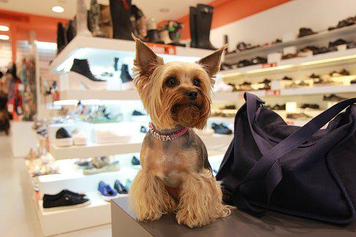 Yorkshire Terrier, Dog, Animals, Darling