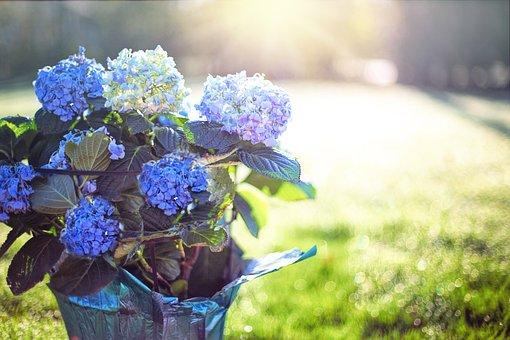 アジサイ, 青, 紫, 花, ポット, 朝, 日照, 春, ブルーム, 夏