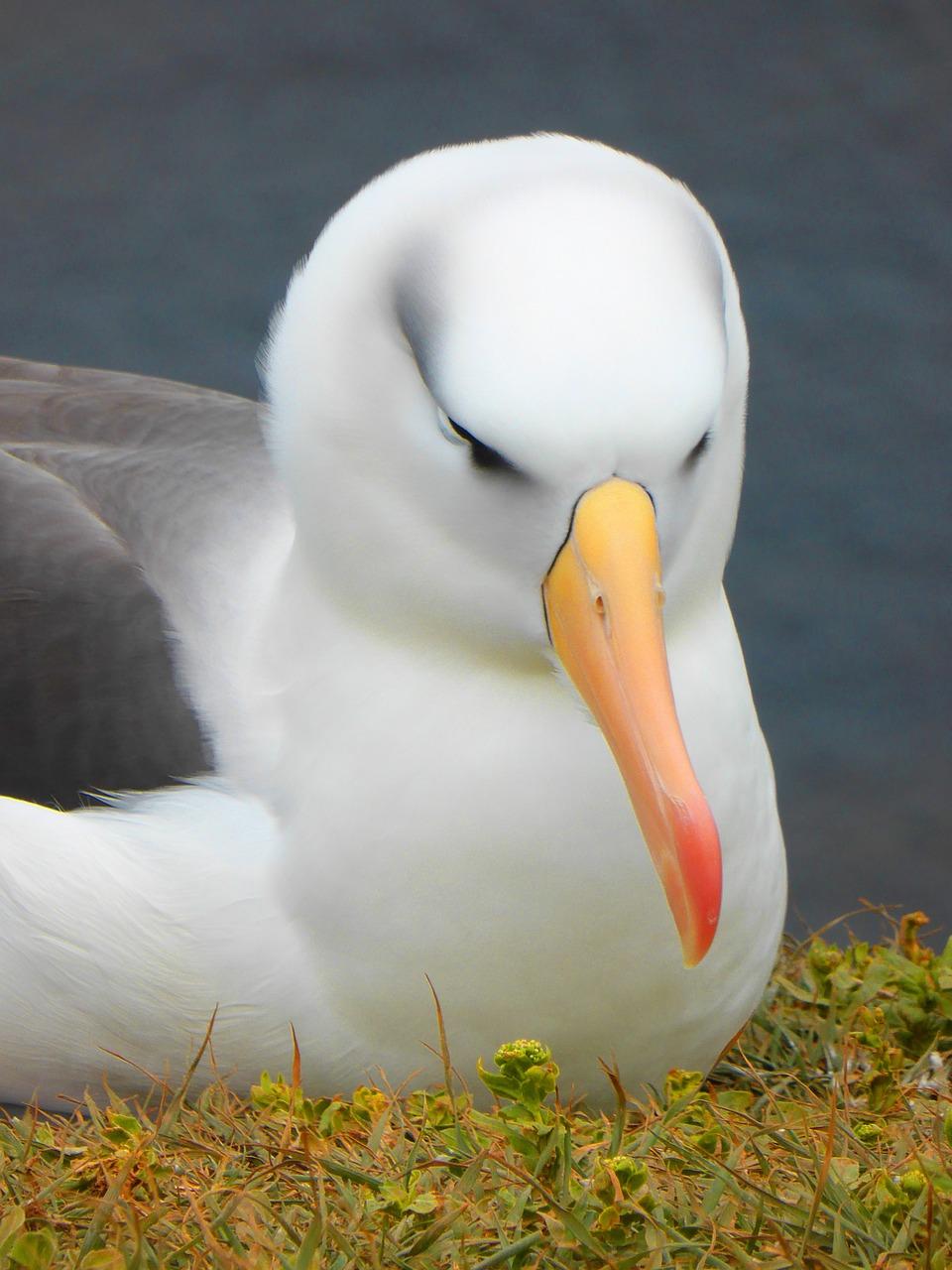 фото птицы альбатрос следует также
