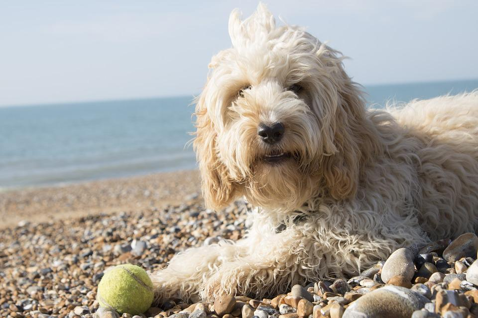 Beach, Dog, Water, Sea, Cockapoo, Animal, Summer, Sand