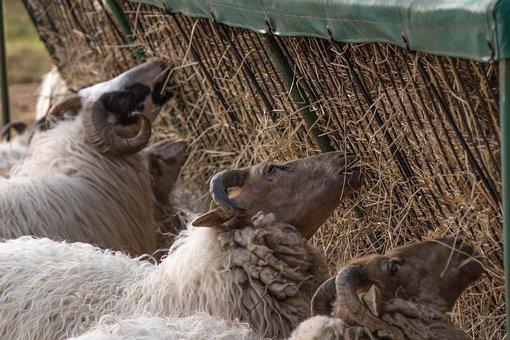 Ram, Animal, Eating, Sheep, Nature, Farm