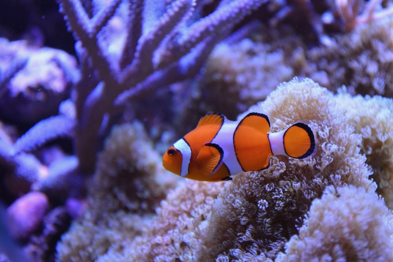 горшки или рыба клоун фото картинки новые сорта, успевающие