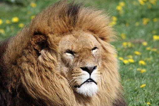 Lion, Mane, Animal, Wildlife, Predator