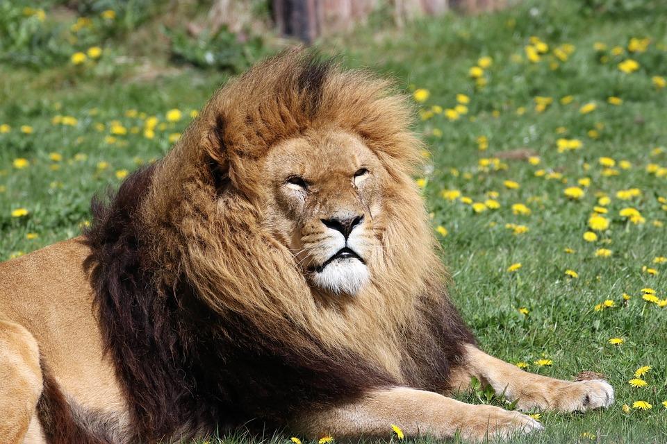 Best 25  Lion images ideas on Pinterest