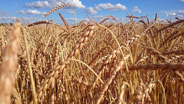 Wheat, Field, Cereals, Grain