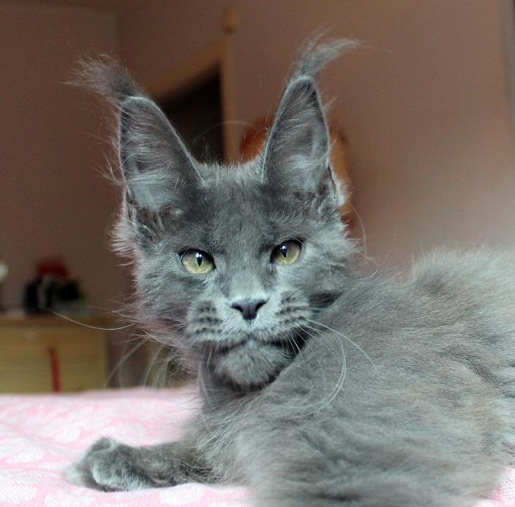 fotky veľké chlpaté mačička