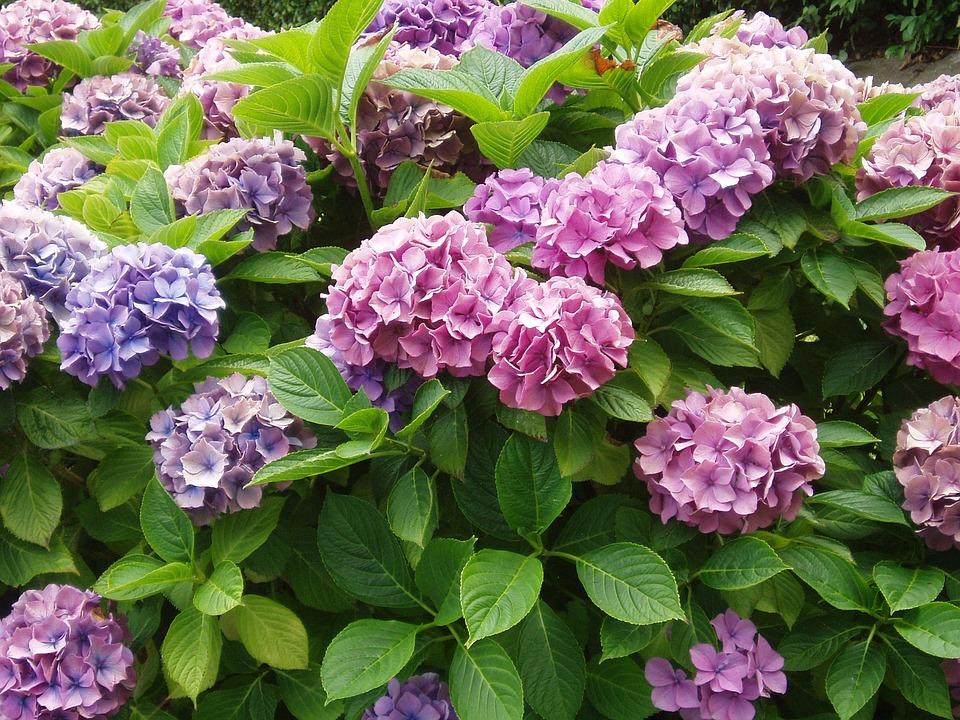 八仙花, 厂, 布什, 粉红色, 花, 开花, 蓝色, 花园, 紫, 伞形花序, 性质, 夏季, 绣球花