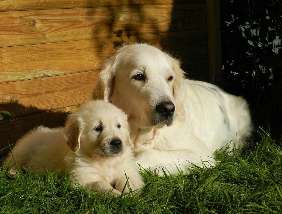 Dog, Puppy, Golden Retriever, Animal, Petit, Cute