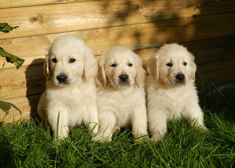 Puppies, Golden Retriever, Cute, Animal