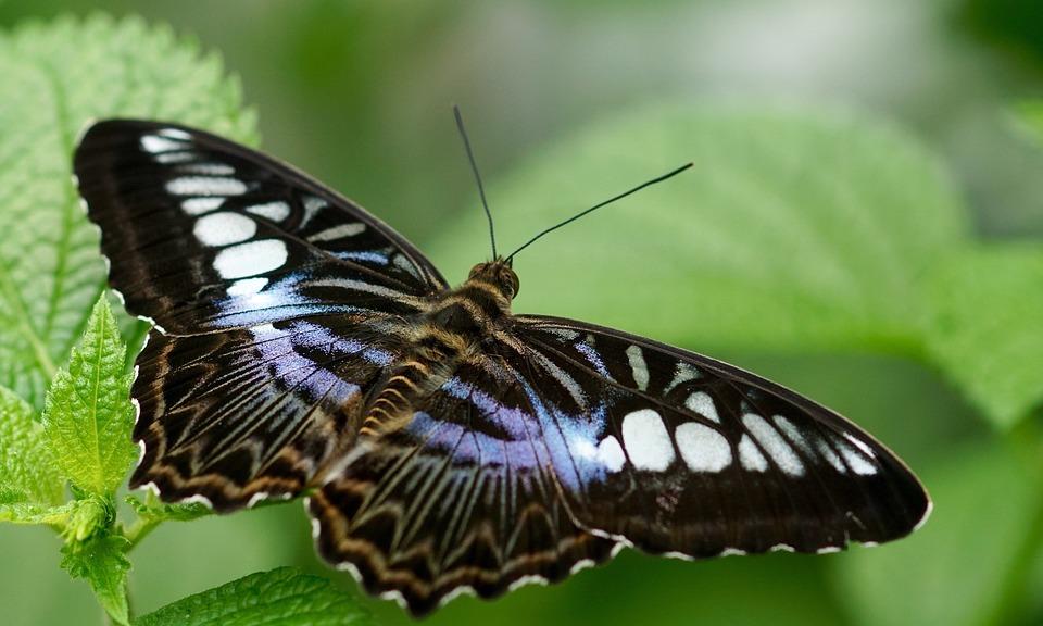 Pillangó, Egzotikus, Rovar, Tropical, Állati, Szárny