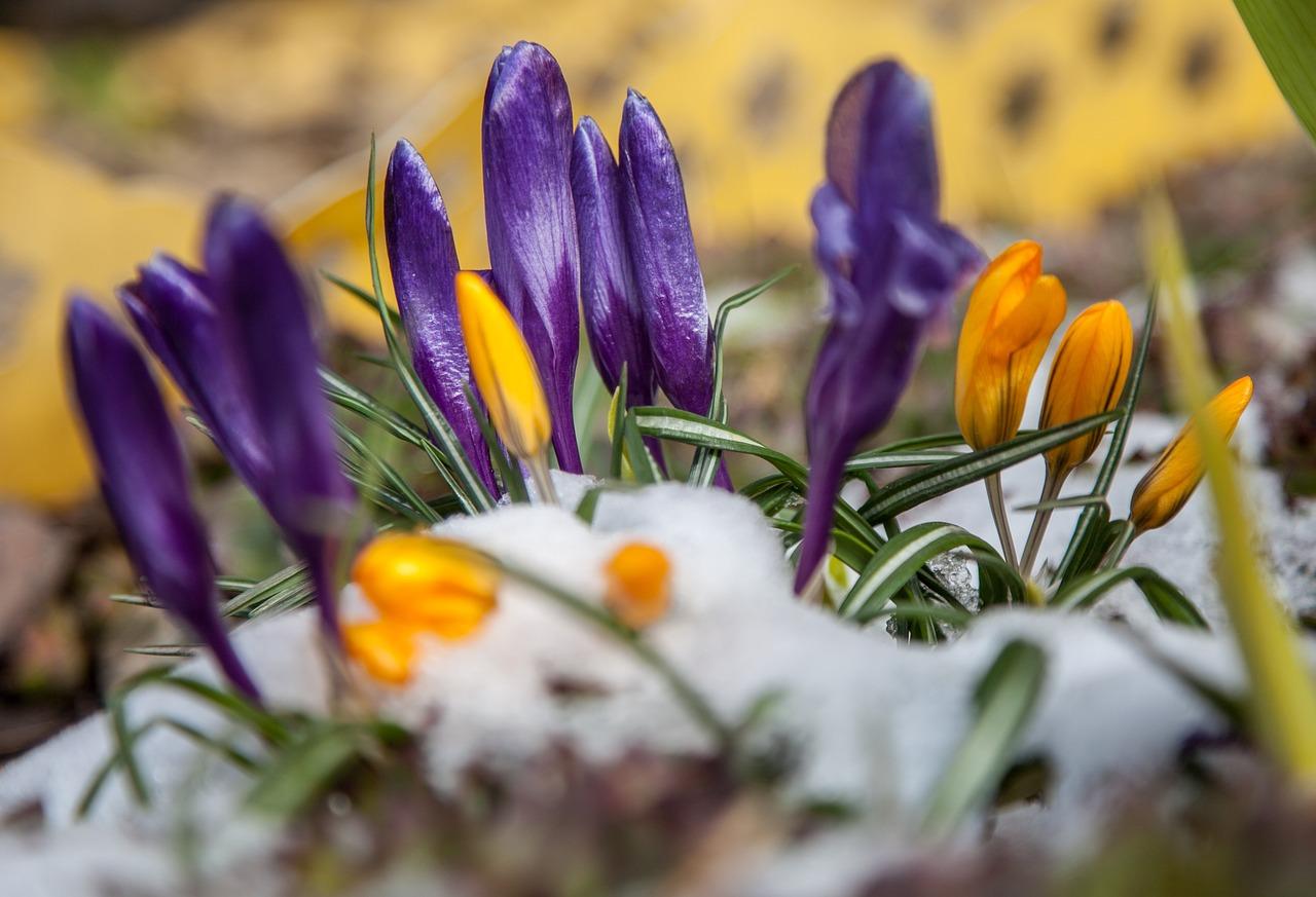 рожденья картинки весна ранняя крокусы которой нарисованы