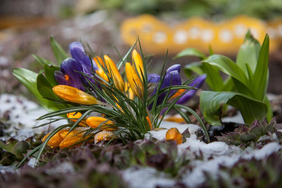 Blumen Krokusse Fruhling Kostenloses Foto Auf Pixabay