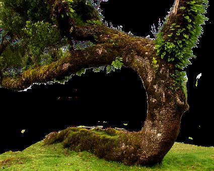 Laurel Tree, Old Tree, Isolated