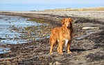toller, beach, dog