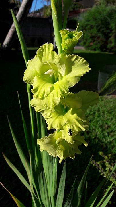Bunga Gladiol Hijau Foto Gratis Di Pixabay