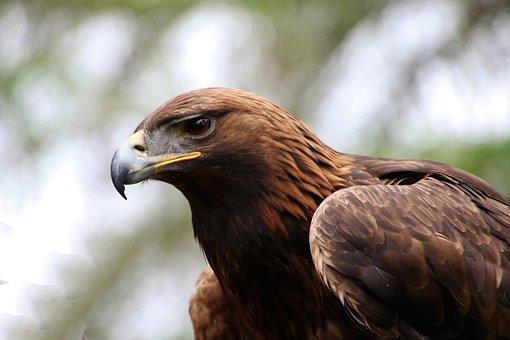Golden Eagle Images · Pixabay · Download Free Pictures