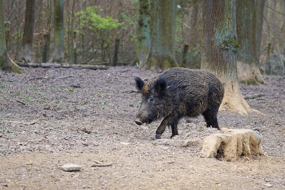 saunatur wildschwein schwein sau natur tier park tierpark eventi