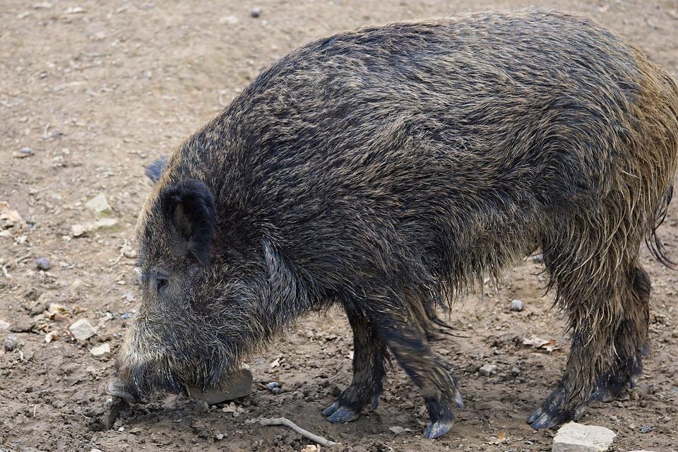 saunatur wildschwein schwein sau natur tier park tierpark verona