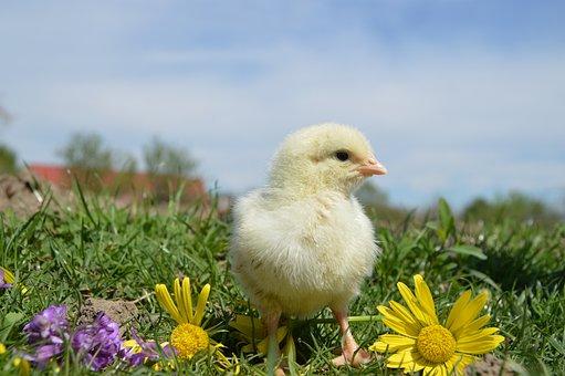 鳥, チキン, コック, 鶏, 家禽, クラ, ファーム