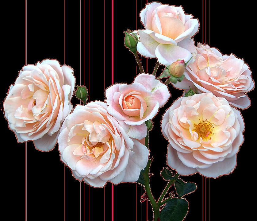 Rose Facoltativo Festa Della Mamma Immagini Gratis Su Pixabay