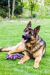 dog, german shepherd, dogs
