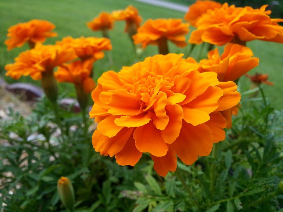 マリーゴールドの花言葉7つ・マリーゴールドの花言葉の由来