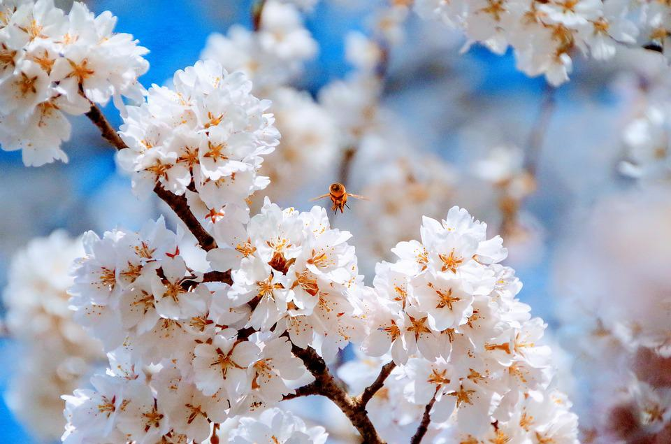 Cherry blossoms spring flowers free photo on pixabay cherry blossoms spring flowers japan blue sky pink mightylinksfo