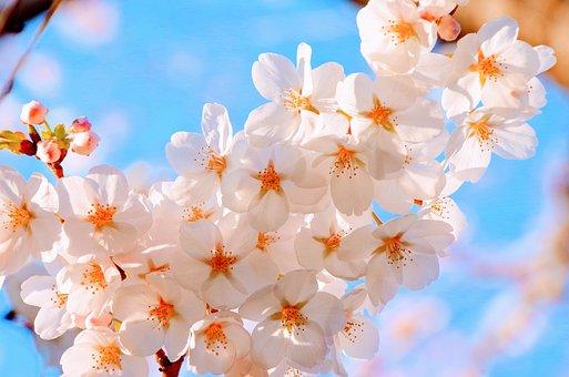 桜, 春, 日本, 青空, 満開, ピンク, かわいい, さくら, 花見, 昼間